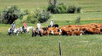 Dude Ranch Activities - Cattle Drives